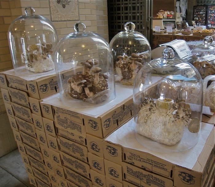 1000 ideas about growing mushrooms indoors on pinterest mushroom compost growing mushrooms - Growing oyster mushrooms profit ...