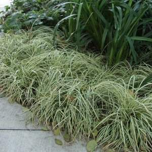 Carex oshimensis 'Evergold' at San Marcos Growers