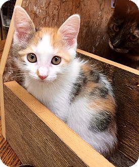 Bengal Kitten for adoption in Phoenix, Arizona - Matie Marty Mason Mayer Murey