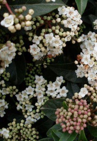 Viburnum tinus Eve Price - arbusti ornamentali sempreverdi online - arbusti online - cm 200-250 bianchi, rosati in boccio febbraio-marzo sole