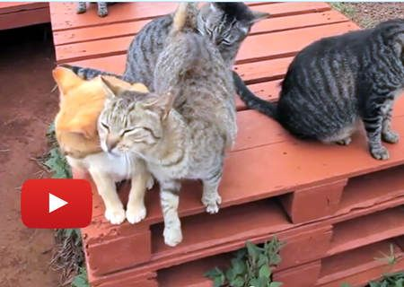 Happy Friendly Island Cats At Cat Sanctuary In Hawaii » Love Meow