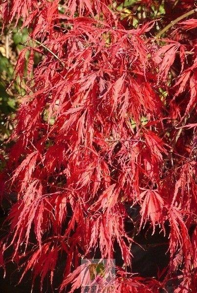 Les 25 meilleures id es de la cat gorie acer palmatum sur - Arbuste japonais persistant ...