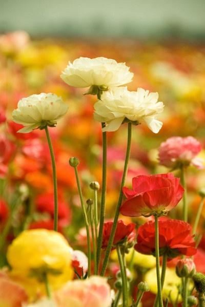 #flowers #orange #yellow #field