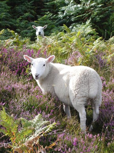 Scotland - Highlands - North Country Cheviot Sheep