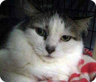 Seal Beach, CA - Domestic Mediumhair. Meet Annie, a cat for adoption. http://www.adoptapet.com/pet/14628406-seal-beach-california-cat
