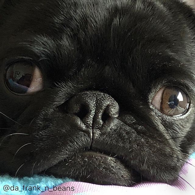 Monday Face Oh Wait It S Tuesday Best Pug Picture At My