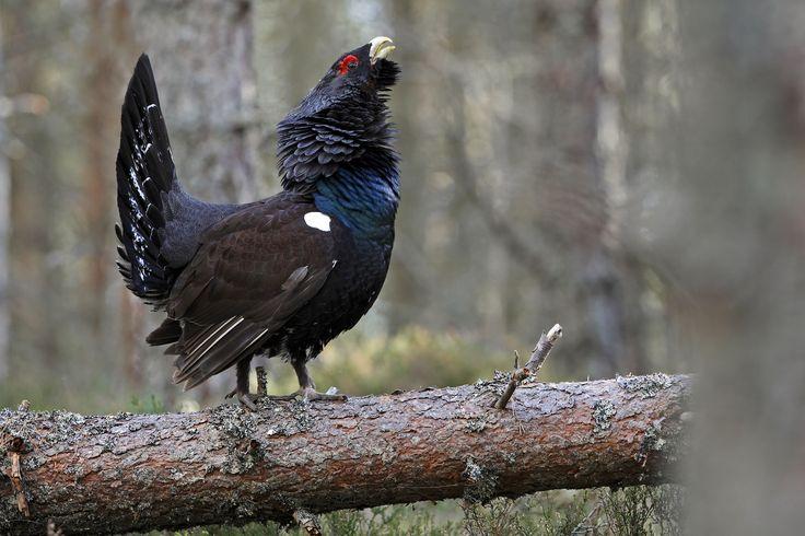 Heatherlea - Birdwatching tours trips and holidays in Scotland, bird watching in…