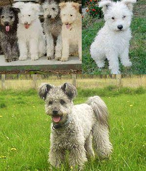 Pumi Dog I love them!