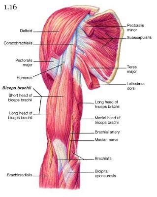 Mini Handbooks: Skeletal Muscle Group IV