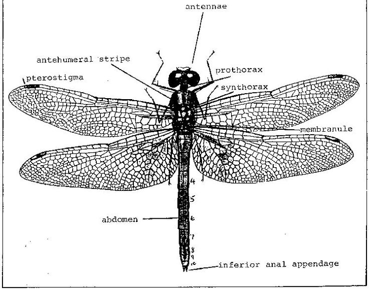 dragonfly diagram related keywords