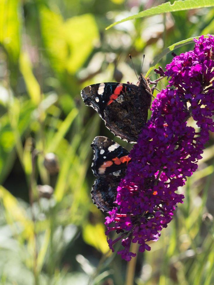 Har du lyst på dansende sommerfugler i hagen?