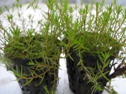 Crassula helmsii  Carpet Aquarium Plant