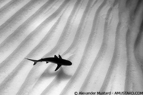 Shark over rippled