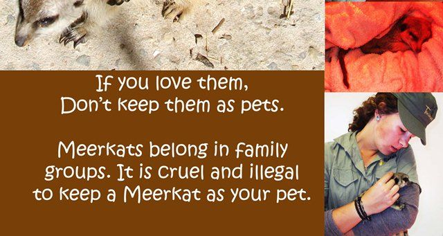Do not keep meerkat's as pets....