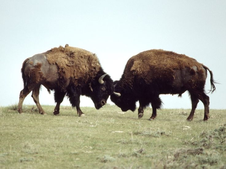 See bison pictures in this photo gallery from National Geographic.