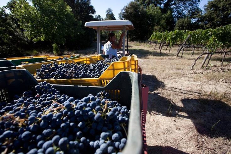 our_grapes_fattoria_fibbiano