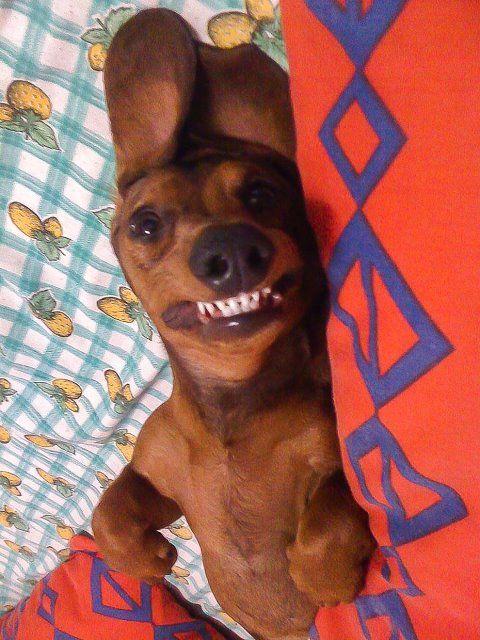 doxie teeth!!
