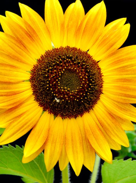 sunflower pictures | Sunflower Genome to be Sequenced | Haysville Community Library