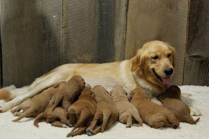 Teddybear F1 Goldendoodles for Sale by Breeders in Maryland | Al-Bark Kennels