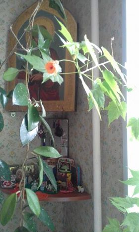 23.03.17 китайская роза