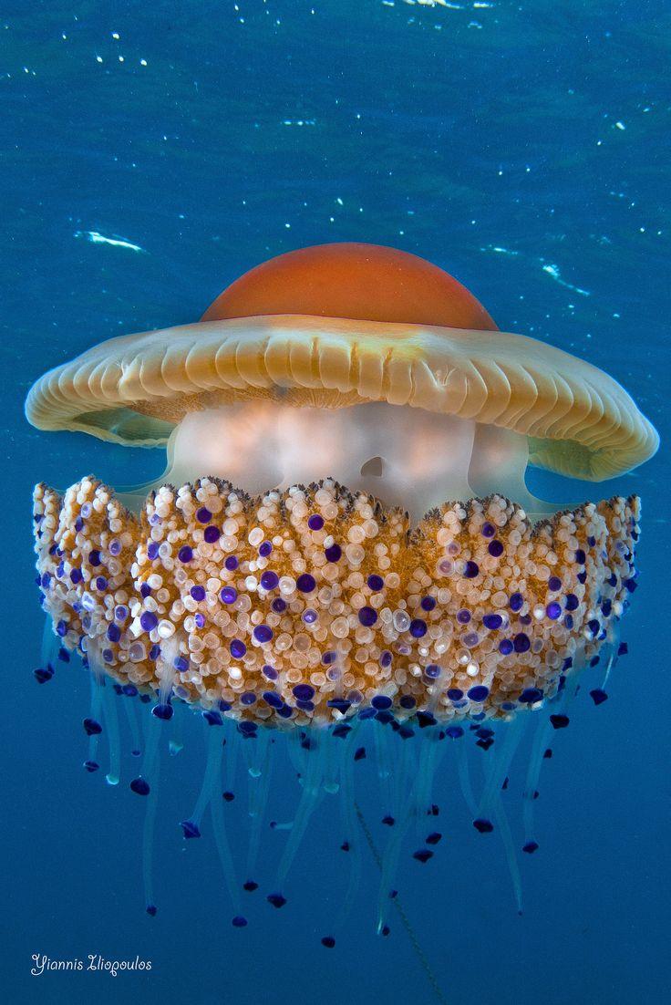 Cothyloriza tuberculata -- Athos Scuba Diving Center -- http://www.athos-scuba.gr/