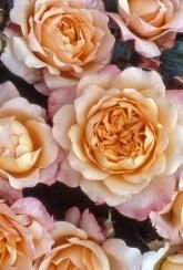 Rose (Hybrid Tea) Samaritan - Plants