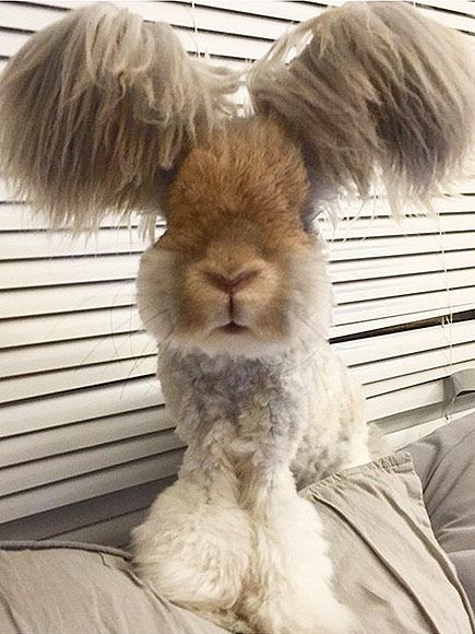 Wally the Angora Rabbit Looks Like an Adorable Poodle-Bunny Hybrid