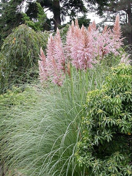 13 best drought tolerant waterwise ornamental grasses for Ornamental grasses with plumes