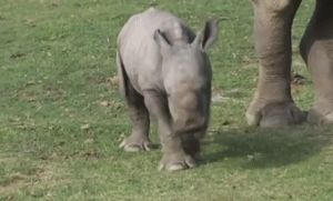 This one having a little lie-down. | 23 Baby Rhinos That Will Make You Impossibly Happy