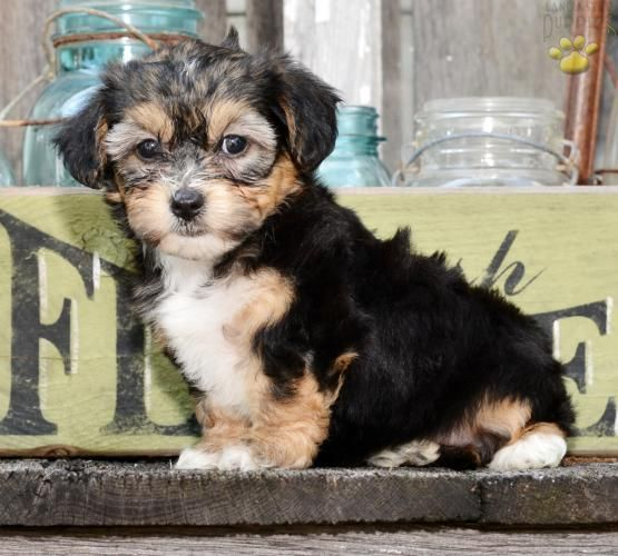 Allie York Chon Puppy For Sale In Baltic Oh Lancaster
