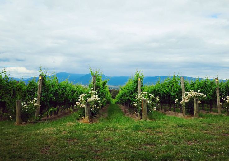 Vineyards, Domaine Chandon, Yarra Valley