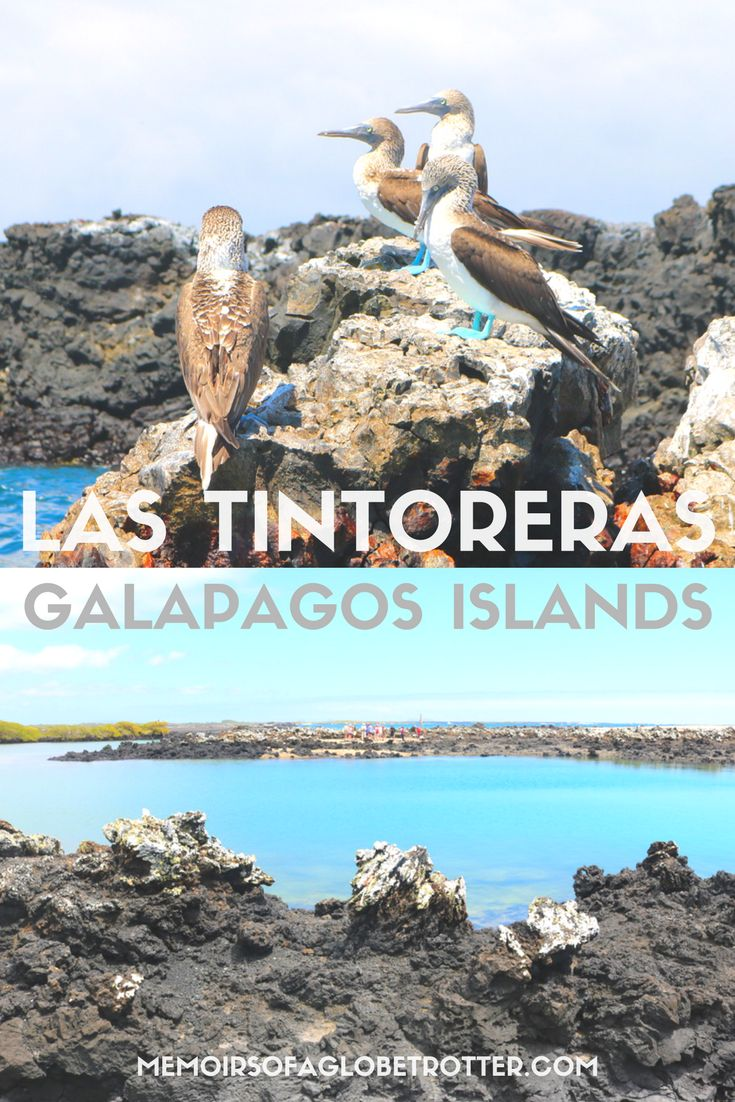 A fascinating day tour to Las Tintoreras islet near #Isabela Island in the #Galapagos, #Ecuador. Here you can spot blue-footed boobies, penguins, sea turtles, sea lions, marine iguanas, and Sally Lightfoot crabs!