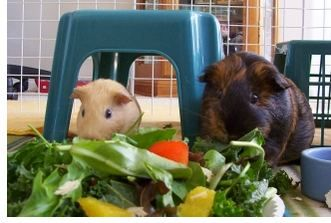 """Guinea Pig Diet: """"A proper diet is the cornerstone to good health"""""""