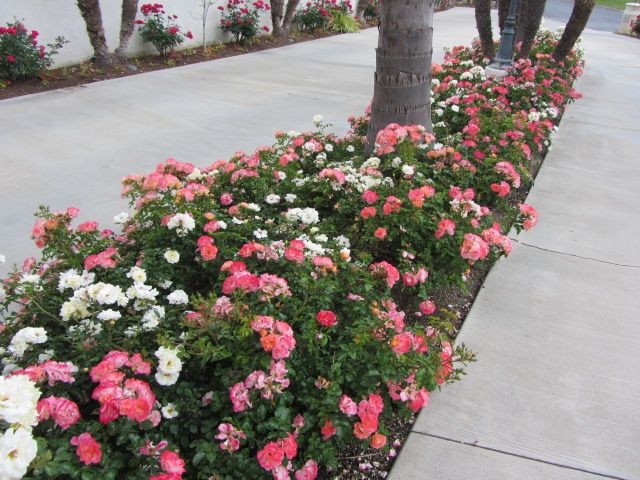 Coral And White Drift Roses Landscape Ideas Pinterest