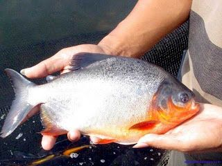 Peluang Usaha Budidaya Ikan Bawal Air Tawar - Peluang Usaha dan Dunia Kerja