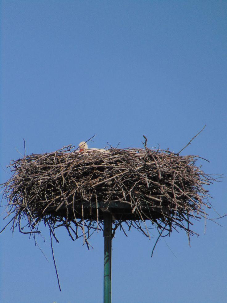 Ooievaar op nest