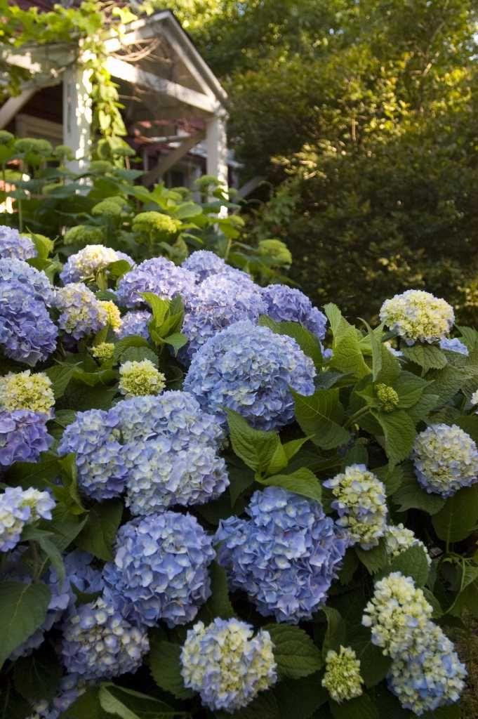 The Grumpy Gardener S Guide To Hydrangeas Summer Hydrangeas Endless Summer Hydrangea Hydrangea Not Blooming