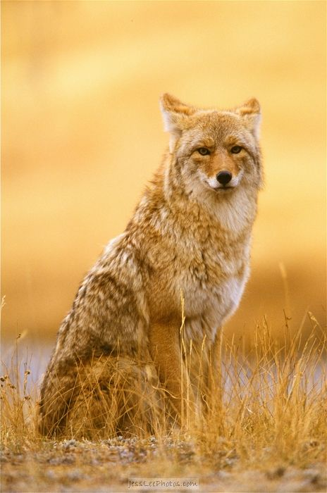 25 Best Ideas About Coyotes On Pinterest Adorable Baby
