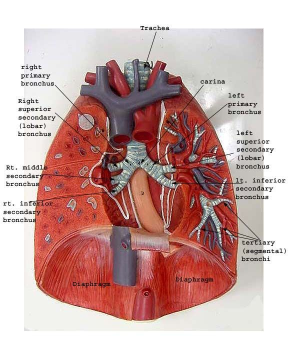 Image Result For Lungs Lab Model Labelled