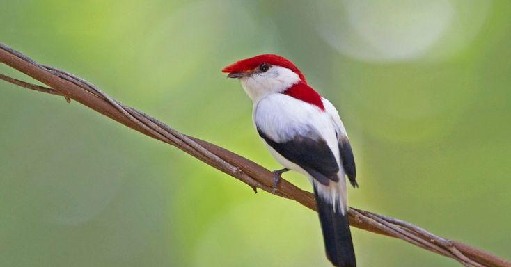 """O soldadinho-do-araripe (""""Antilophia bokermanni"""") está entre os cem animais com alto risco de extinção do planeta, segundo a IUCN - a ave do nordeste brasileiro, no entanto, não é apontada como um dos mais ameaçados do Brasil pelo ICMBio"""