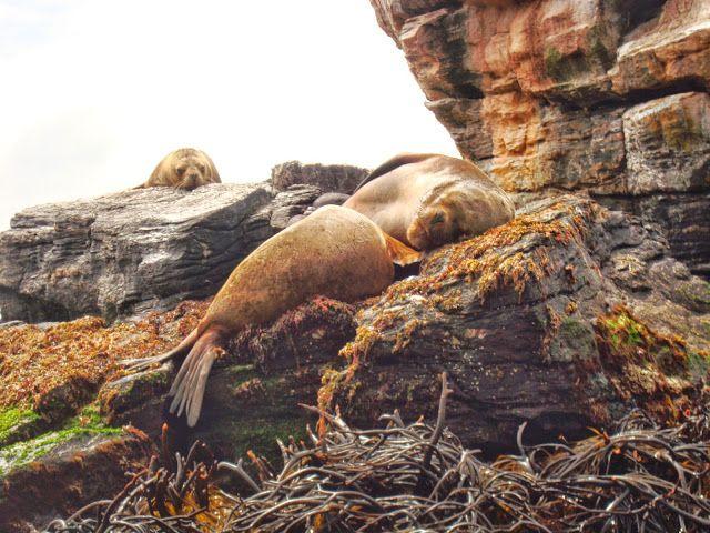 Lobos marinos en Punta Choros.