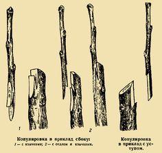 прививки плодовых деревьев-сроки прививки: 21 тыс изображений найдено в Яндекс.Картинках