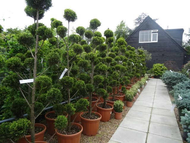 Cupressus Topiary Pom Pom Trees, Leyland Topiary For Sale