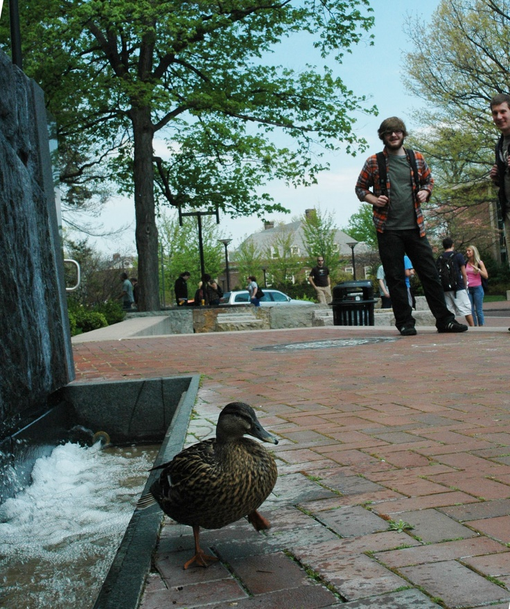 (The Penn State duck has his own Twitter account)
