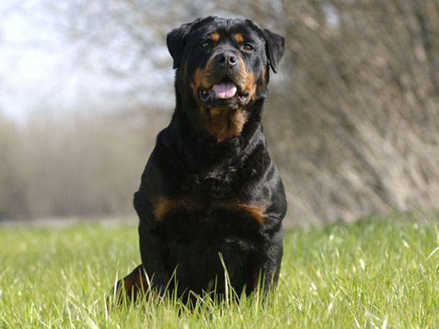 Rottweiler | Photo chien Rottweiler - 1550 - Wamiz