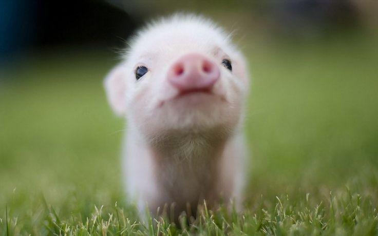 cuccioli di maiale - Cerca con Google
