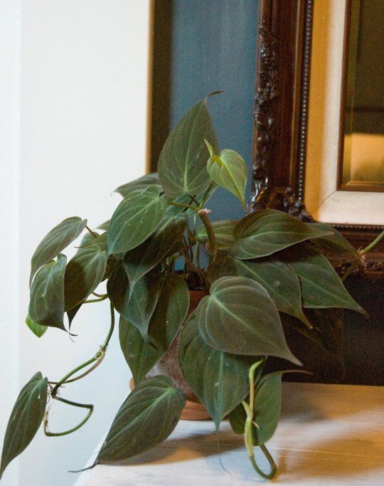 Philodendron Bronze Micans | Off to a Strong Start: 5 Tips for Buying Healthy Plants — Apartment Therapy's Home Remedies