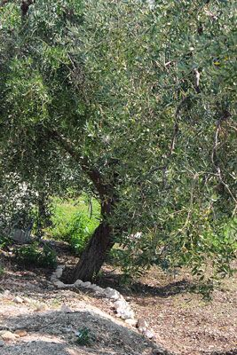 One of the trees in our 'Sea and Golden Fields' olive grove. Adopt a tree in this grove for £34.99 plus delivery #TerraAdopt #adoptanolivetree www.terraadopt.com