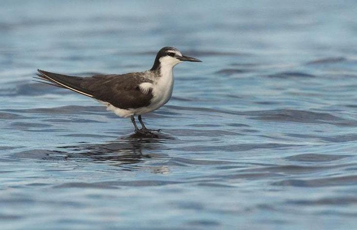 Mengenal Burung Dara Laut Batu Dan Kebiasaan Hidupnya Jalak Suren Net Burung Lautan Jalak