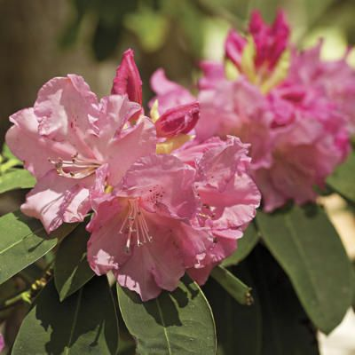 69 best images about azaleas rhododendrons on pinterest